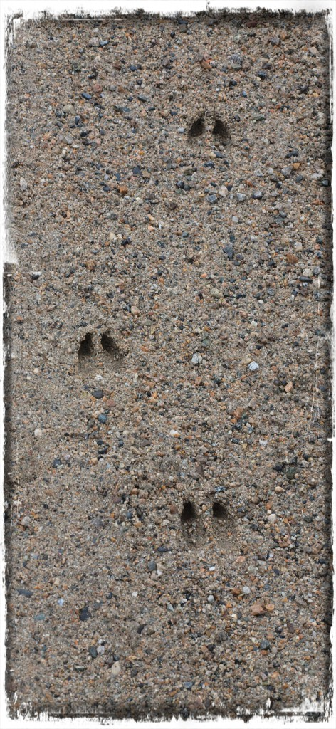 white-tail-deer-track-signed